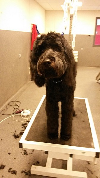 Le chien Labradoodle (photo 04)
