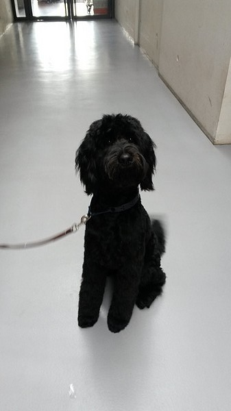 Le chien Labradoodle (photo 07)