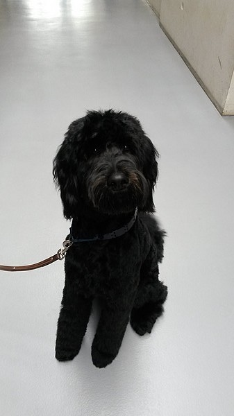 Le chien Labradoodle (photo 08)