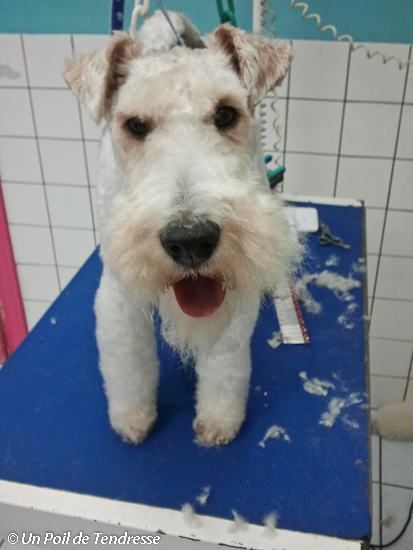 Le chien Fox-terrier (photo 01)