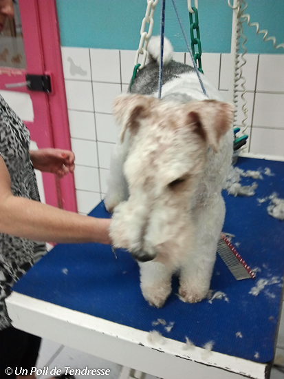 Le chien Fox-terrier (photo 03)