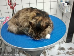 Le chat Maine coon (photo 01)