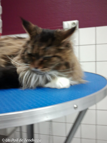 Le chat Maine coon (photo 02)
