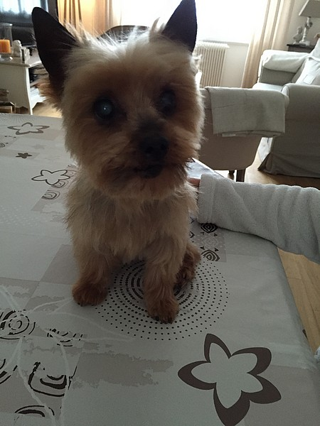 Le chien Yorkshire Terrier (photo 05)