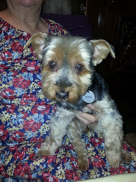 Le chien Yorkshire Terrier (photo 07)