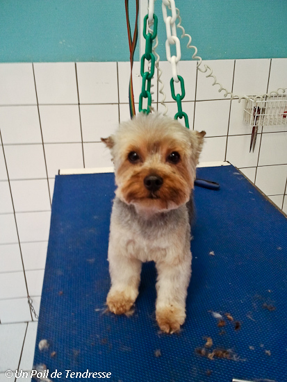 Le chien Yorkshire Terrier (photo 08)