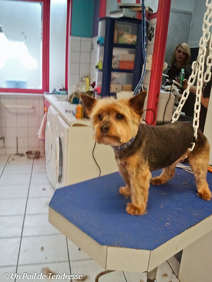 Le chien Yorkshire Terrier (photo 11)