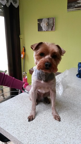Le chien Yorkshire Terrier (photo 14)