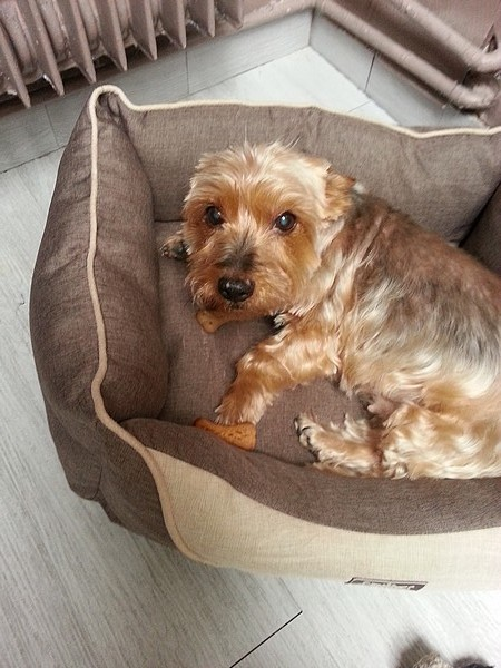 Le chien Yorkshire Terrier (photo 16)