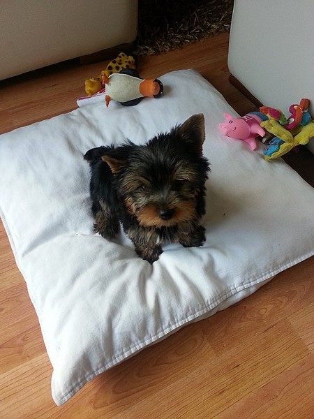 Le chien Yorkshire Terrier (photo 17)