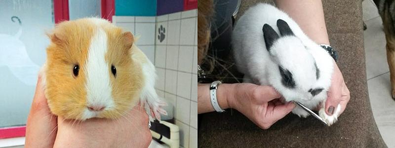 Cochon d'inde et lapin